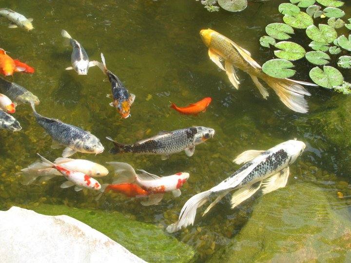 Spring summer pond maintenance central pa lebanon for Fish pond maintenance