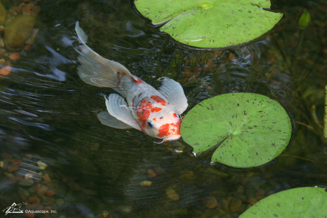 Butterfly Koi: Basic Facts to Know - DreamscapesWatergardens.com